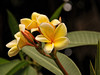 """I've got a secret"" (Susan Hall Frazier) Tags: flowers floral beauty yellow garden flora florida plumeria bokeh sarasota secretgarden ivegotasecret flowerthequietbeauty ringlingbrothersmuseumofart"