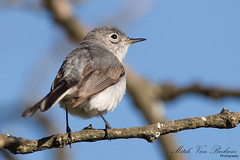 Blue-gray Gnatcatcher (Polioptila caerulea) (Mitch Vanbeekum Photography) Tags: lake nj catcher morristown gnat kitchell bluegraygnatcatcher polioptilacaerulea canon5dmkiii gnatcathcher canonef500mmf4is canon14teleconvertermkiii