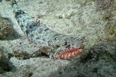 flamma (BarryFackler) Tags: ocean life sea fish nature water ecology animal coral fauna island hawaii polynesia bay marine underwater pacific being dive scuba diving sealife pacificocean tropical marinebiology diver bigisland aquatic reef creature biology undersea kona ecosystem coralreef marinelife vertebrate zoology seacreature lizardfish marineecology organism honaunau konacoast hawaiicounty southkona hawaiiisland 2013 honaunaubay marineecosystem westhawaii konadiving ulae bigislanddiving hawaiidiving sealifecamera orangemouthlizardfish barryfackler barronfackler sauridaflamma sflamma