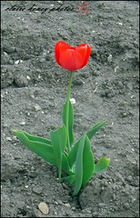 lonely tulip (frenchmum) Tags: flowers red macroshots flowersandcolours flowerarefabulous wonderfulworldofflowers mygearandme vigilantphotographersunite vpu2