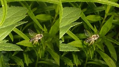P5157127 (fotoopa) Tags: macro inflight objects insects thuis highspeed flyinginsects highspeedflash insectsinflight strobic highspeedcapture highspeedmacro fotoopa inflightinsects lasercontrol vliegendeinsecten lasercamera ttlflashcontrol flyinghighspeedinsects highspeedlaserdetector irlaserdetection hardwareforinflightinsects diyinflightcapture diyflashsetup highspeedhardware multiplelaserdetection clpdhighspeedcontroller insectenfotografie vliegendebeestjes fotosvliegendeinsecten picturesinflightinsects olympusepl3 epl3lasersystem