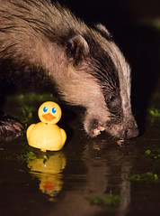 Nice Weather For Ducks ( And Badgers...) (Dan Belton ( No Badger Cull )) Tags: uk nature animal mammal spring wildlife may badger brock stripey scapegoat cull tories melesmeles 2013 nocull legallyprotectedanimal