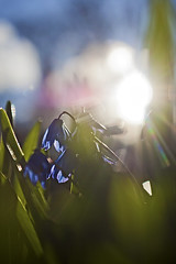 Backlight flowers (magnusl67) Tags: flowers blue green nature backlight dof sweden bokeh pov jmtland stersund canoneos50d magnuslgdberg