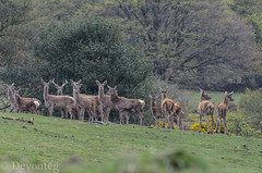 begins with R.. (for ODC of course ;o) (devonteg) Tags: wild nikon stag may reddeer exmoor odc hinds yearlings 2013 70300mm4556vr d7000 ourdailychallenge beginswithr