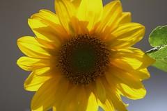 FK-EOS60D-_4418 (Fahim Kidwai) Tags: pakistan yellow daylight spring sunflower islamabad