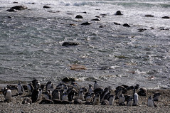 Penguins at Seno Otway, Chile (daliokas) Tags: chile penguins senootway