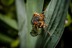 Mr. (or Ms.?) Orange Eyes (loco's photos) Tags: macro cicada pentax locust swarm brood 17year magicicada k30 17yr broodii panagor9028