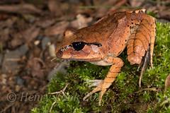 Mixophys fasciolatus, Eungella-2986 (Henry.Cook) Tags: giant great australia amphibian frog queensland barred mixophyesfasciolatus