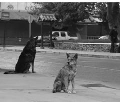 Observando el mundo (Eugenio Nervi) Tags: blanco fauna negro perros animales blinkagain