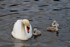 img 4558 7d Swan with her 3 chicks (Martin J Murphy Photography) Tags: canon swan swans 7d cygnets chics tamron70300mm 2013 swanchicks