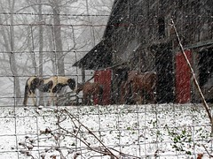 Horses in Snow (David Hoffman '41) Tags: wood winter red horses brown snow cold nature weather animal barn yard rural pen fence virginia march spring wire rust wind farm country rustic warmth bleak shelter livestock stable barbed agricultural charlottecourthouse charlottecounty platinumheartaward