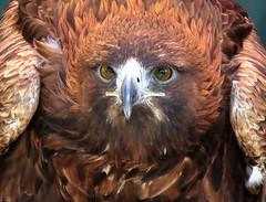 La mirada del Aguila  --  The look of the eagle (ibzsierra) Tags: bird canon eagle ibiza ave 7d pajaro eivissa oiseau baleares aguila blinkagain