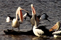 You Should Have Heard What I Told Him (florahaggis) Tags: pelicans birds australia victoria horsham pc3400 waterriver wimmerariver