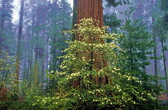 Together thick and thin (Chief Bwana) Tags: ca fog forest 35mm sierra dogwood nationalparks sequoia sequoianationalpark psa104 chiefbwana