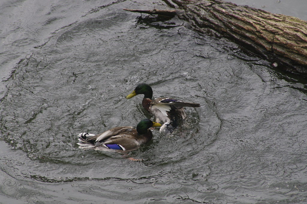 The Worlds Best Photos Of Duck And Rape - Flickr Hive Mind-2039