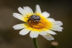 Tropinota hirta (macropoulos) Tags: flower beetle wildflower chrysanthemum chafer animalia arthropoda hirta coleoptera insecta scarabaeidae canoneos5d coronarium canonef100mmf28macrousm polyphaga tropinota cetoniinae flowerchafer