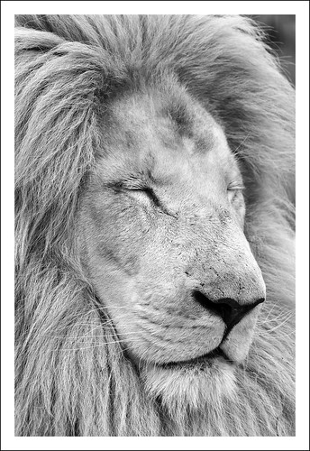 The Lion Sleeps