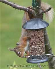 Red Squirrel (Hilary Gaunt) Tags: redsquirrel scottishwildlife gardenmonth