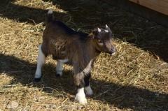 Pygmy Goat (Polomini) Tags: nature animal austria nikon raw goat nikkor pygmy 55200 d5100