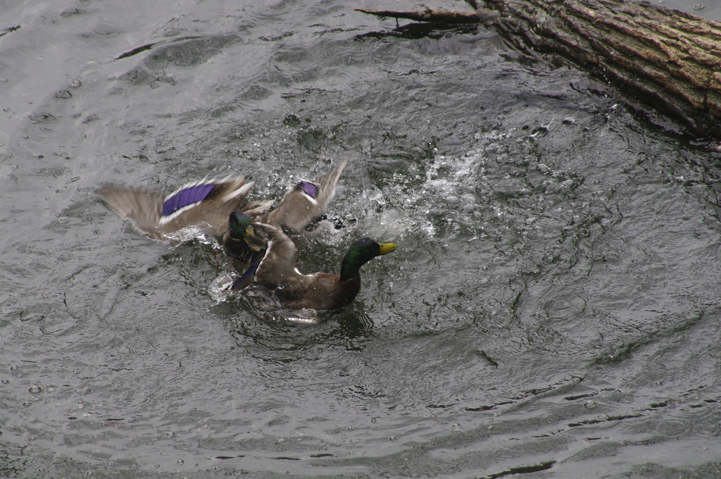 The Worlds Best Photos Of Duck And Rape - Flickr Hive Mind-1946