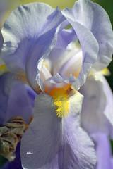 Iris Time (bbic) Tags: blue iris macro petals bucharestbotanicalgarden stanjenel