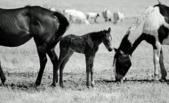 I'm A Little Shaky! (socaltoto11) Tags: california horses blackandwhite farming foals blackandwhitephotos babyhorses countrylandscapes bakersfieldcalifornia kerncountycalifornia