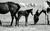 I'm A Little Shaky! (socaltoto11) Tags: california horses blackandwhite farming foals blackandwhitephotos babyhorses countrylandscapes bakersfieldcalifornia kerncountycalifornia