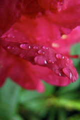 Rhododendron droplets (shaunsadie007) Tags: inglaterra england flower water canon droplets woods agua nt hill flor surrey hills rhododendron bloom droplet leith gota gotitas g12