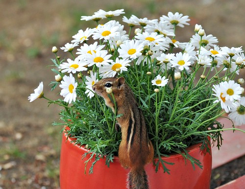 "Alvin wishes all of his flickr friends a ""Daisy"" of a day!"