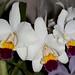 Cattleya Phyllis Prestia 'Bel Orchidea' AM/AOS – Phyllis Prestia