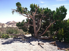 20130414-00510.jpg (theoszi) Tags: mountain tree nature rock flora lasvegas nevada places redrock feature