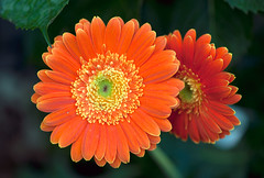 Gerbera's reflection (Pensive glance) Tags: plant flower nature fleur plante gerbera wonderfulworldofflowers flowerthequietbeauty