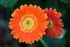 Gerbera's reflection (Pensive glance) Tags: plant flower nature fleur plante gerbera wonderfulworldofflowers flowerthequietbeauty