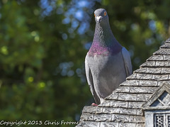 Rock Dove on the roof (froomey) Tags: summer nature birds dove wildlife feather aves pidgeon animalsbirds columbalivia rockdove gardenbirds wildbirds feralpidgeon olympusomdem5 olympusmzuiko60mm