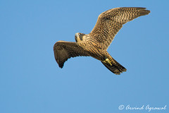 Juvi Falcon at play - IMG_7207-1 (arvind agrawal) Tags: