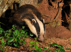 Badger ( Meles meles ) (Kevin Keatley - MD Wildlife Watching Supplies) Tags: badger badgers britishwildlife afterdark naturephotography wildlifephotography melesmeles outdoorphotography naturepictures natureandwildlife middevon wildlifewatchingsupplies kevinkeatley hedgerowbadger