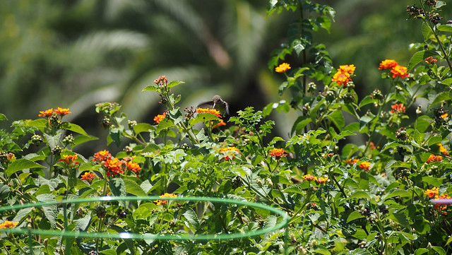 Hummingbird_at_Geek_Hill_2013-1302