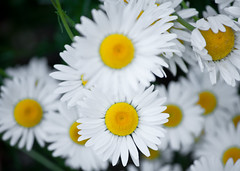 White Diasies Bunch 1 of 3 (Orbmiser) Tags: flowers oregon daisies portland spring nikon bunch daisy d90 55200vr