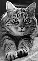 Tiggy the cat (Lens Flare Photography) Tags: cute cat eyes tabby adorable kitty fluffy whiskers meow
