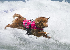 Time to test out this life jacket! (San Diego Shooter) Tags: portrait dog dogs cool sandiego surfer surfing uncool imperialbeach cool2 surfingdog cool5 cool3 cool6 cool4 dogsurfing cool7 loewscoronadobayresortsurfdogcompetition uncool2 uncool3 iceboxcool thepinnaclehof tphofweek208 loewscoronadobayresortsurfdogcompetition2013