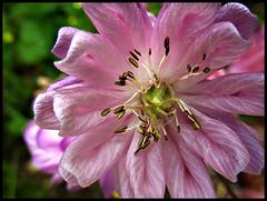 Glowing pink (EXPLORE) (ronramstew) Tags: uk pink england flower liverpool garden stamens 1001nights merseyside princesparkmansions mygearandme mygearandmepremium vigilantphotographersunite princespard