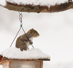 Cute Squirrel (Rick Smotherman) Tags: wood trees winter sky snow stpeters nature canon garden outdoors march morninglight backyard overcast feeder 7d cloudysky canon300mmf4l canon7d