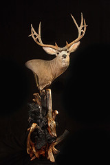 "Mule Deer Animal Art Taxidermy • <a style=""font-size:0.8em;"" href=""http://www.flickr.com/photos/27376150@N03/9353457804/"" target=""_blank"">View on Flickr</a>"