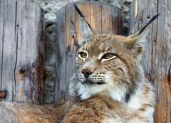 Eurasian lynx (Osdu) Tags: nature animal wildlife lynx eurasianlynx moscowzoo ringexcellence blinkagain