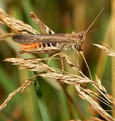 Grasshopper. omocestus rufipes (Jillandcamera) Tags: grasshopper messingham omocestusrufip
