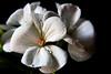 G E R A N I U M (ArvinderSP) Tags: flowers white nature water petals drops nikon naturallight geranium nikon28105f3545d flickrandroidapp:filter=none