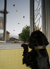 Dogs Eye View - Bazil enjoying the balloons this evening (Photo Gal 2009) Tags: blue dog look bristol looking canine stainedglass blackdog spaniel peep funnydog cocker cockerspaniel stainedglasswindow stannes peer englishcocker peeping peering bazil blueroan bristolballoonfiesta englishcockerspaniel bristolballoons bristolinternationalballoonfiesta doglooking dogballoon dogstanding august2013 stannesbristol cockerboy bristol2013 englishworkingcocker balloonfiesta2013 summer2013bristol