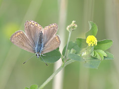 Common Blue (Mr Grimesdale) Tags: butterfly butterflies commonblue stevewallace britishbutterflies mrgrimesdale