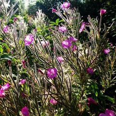Babillages (mooonalila) Tags: pink flowers light rose fleurs purple lumière mauve