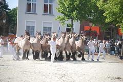 trekpaardkeuring ijzendijke 21072013 4020 (jo_koneko_san) Tags: horses horse holland netherlands cheval nederland zeeland chevaux paard hollande zeeuwsvlaanderen 2013 ijzendijke parden trekpaard trekparden